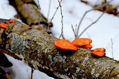 橙色架子蘑菇 库存照片
