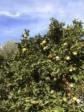 橙色树丛/树在克利特 图库摄影