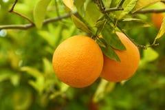 橙色树丛 库存图片
