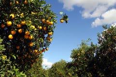 橙色树丛 免版税库存图片