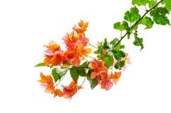 橙色桃红色九重葛分支开花与在白色背景隔绝的它的绿色叶子 免版税库存图片