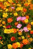 橙色桃红色包围的野花黄色 免版税库存照片