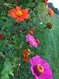 橙色桃红色花 库存照片