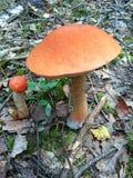 橙色桦树牛肝菌在森林Natur里 蘑菇 Leccinum versipelle 免版税图库摄影