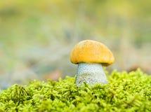 橙色桦树牛肝菌(Leccinum versipelle) 库存照片