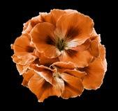 橙色棕色秋海棠花束在黑色的隔绝了与裁减路线的背景 没有阴影的特写镜头 库存照片