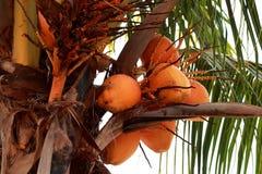 橙色椰树坚果 库存照片
