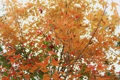 橙色槭树叶子早晨 库存图片