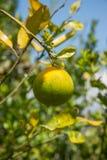 橙色橘栾果 免版税库存照片