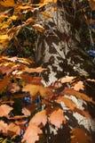 橙色橡木叶子和阴影在树干在秋天 免版税库存图片