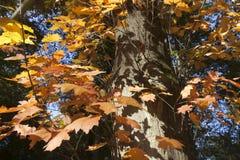 橙色橡木叶子和阴影在树干在秋天 免版税库存照片