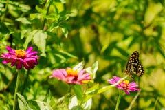 橙色波斯菊和蝴蝶 免版税库存照片
