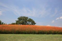 橙色波斯菊庭院 库存照片
