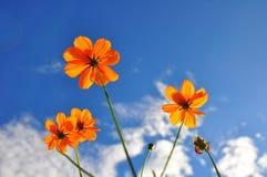 橙色波斯菊花和蓝天 免版税库存图片