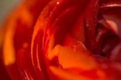 橙色波斯语2 免版税库存照片