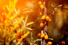 橙色海鼠李分支  免版税库存照片