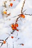 橙色海鼠李 免版税库存照片