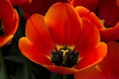 橙色火焰伦布兰特郁金香 免版税库存图片