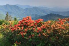橙色火焰火焰杜娟花阿巴拉契亚人蓝岭山脉北卡罗来纳 图库摄影