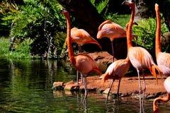 橙色火鸟 图库摄影