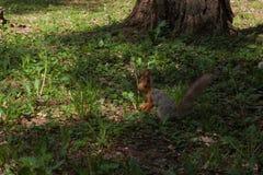 橙色灰鼠 库存图片