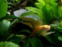 橙色热带鱼 图库摄影