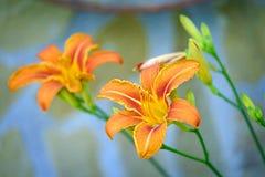 橙色热带lilly在庭院特写镜头2开花 库存照片