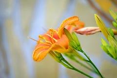 橙色热带lilly在庭院特写镜头1开花 免版税库存图片