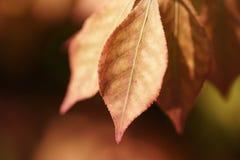 橙色燃烧的矮树丛叶子 库存图片