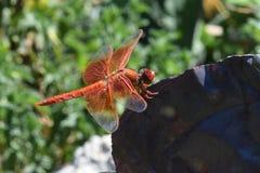 橙色爆竹蜻蜓03 免版税库存照片