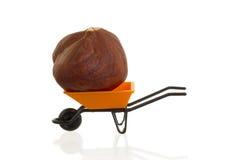橙色独轮车(微型)用在它的一颗榛子 免版税库存图片