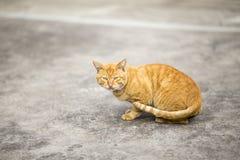 橙色猫 免版税图库摄影