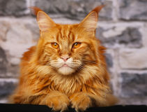 橙色猫 库存图片