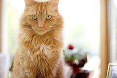橙色猫 库存照片