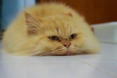 橙色猫 免版税库存照片