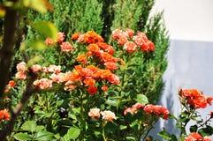 橙色玫瑰丛 免版税库存照片