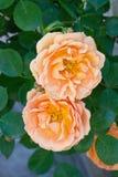 橙色玫瑰二 免版税库存图片