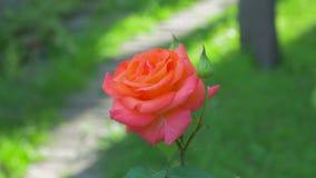橙色玫瑰在庭院里 股票录像