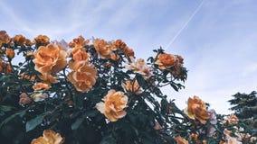 橙色玫瑰背景在天空蔚蓝下的 库存图片