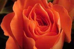 橙色玫瑰 免版税库存图片