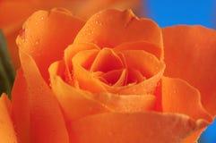 橙色玫瑰 库存照片