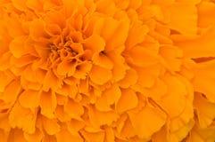 橙色瓣纹理 库存图片