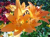 橙色百合在夏天庭院里 免版税库存照片