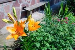 橙色百合在庭院里 库存照片