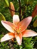 橙色百合垂直的照片,任何目的了不起的设计 在葡萄酒样式的花Garden.vector花卉背景 花概念 橙色花 花宏指令 免版税库存照片