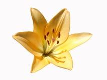 橙色百合属植物花,在白色背景的橙色黄花菜 库存照片