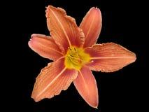橙色百合属植物花,在黑色隔绝的橙色黄花菜 库存照片