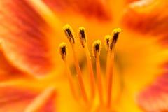 橙色百合属植物雌蕊花蜜 免版税库存图片
