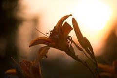 橙色百合属植物 免版税库存图片