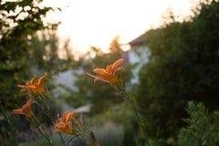 橙色百合属植物 免版税库存照片